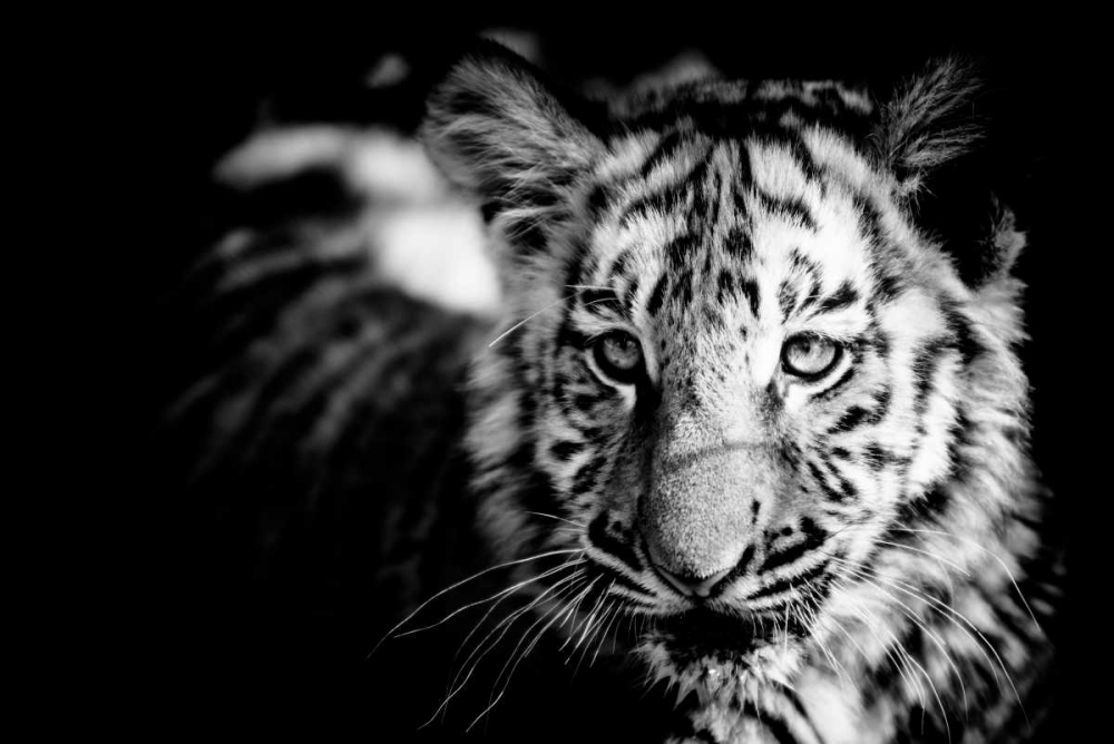 Wall art: Tiger Cub II, by Wold, Beth
