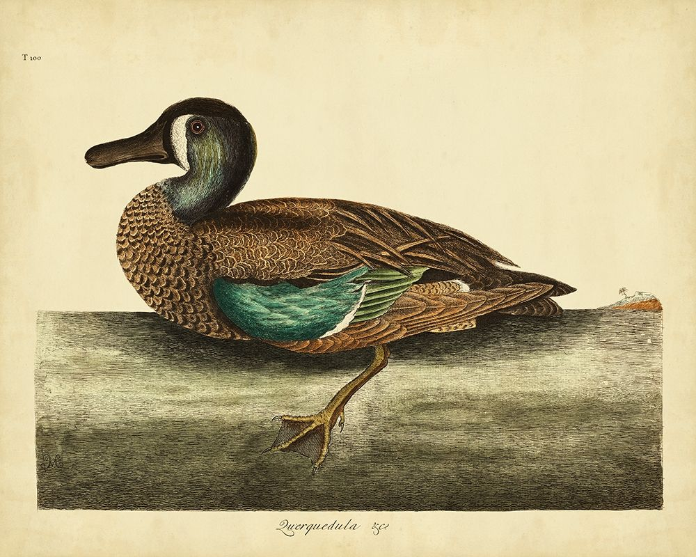 Art Print: Catesby White-face Teal Pl. T100